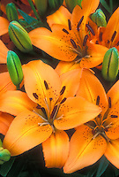 Lily Orange Pixie (LA hybrid) in bloom with orange flowers
