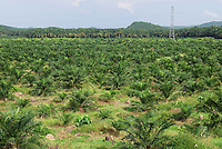 Deforestation rainforest area with a young Oil Palm planting, Sabah, Borneo, Malaysia