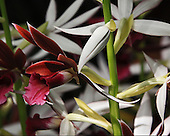 Nuns Cap Orchid<br />