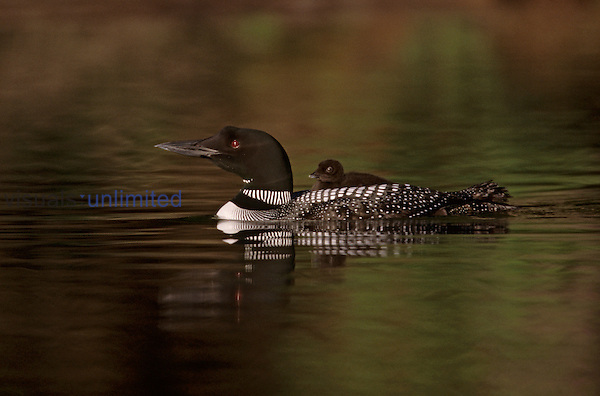 Common Loon with its chick ,Gavia immer,, North America.