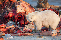 Polar bear feeds on the remnant blubber and meat of the Bowhead whale carcass discarded by the Inupiat village of Kaktovik, Alaska.