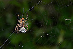 Garden Spider, Araneus diadematus, on web cocooning prey victim, with silk, caught, predation, predator. .United Kingdom....
