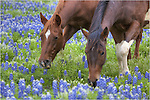 Two horses graze in a field of Texas bluebonnets on a spring afternoon near Marble Falls, Texas. I happened up on these horses while driving the backroads looking for wildflowers to photograph. Just a few miles from here were scores of folks standing along a highway shooting patches of bluebonnets. If they had only known what beauty awaited if they'd gotten off of the beaten path! This was a real treat, as were the Longhorns a few hundred yards down the road.