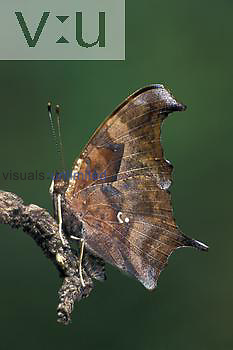 Questionmark Butterfly (Polygonia interrogationis).