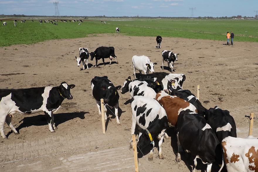 Nederland, Zwartsluis, 2 mei 2015<br /> Natuurboerderij Weidevol. Biologisch melkveebedrijf. <br /> Koeien buiten in de wei. Biologische melkveehouderij. Koeien mogen niet het hele jaar op stal gehouden worden. <br /> <br /> Foto: Michiel Wijnbergh