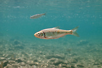 Striped Shiner<br />