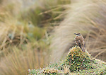 Stout-billed cinclodes, Cinclodes excelsior. Antisana Ecological Reserve, Ecuador