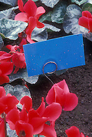 IPM monitoring biological sticky trap for insect pests next to cyclamen plants
