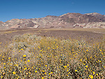 Death Valley National Park, California; a panoramic view of fields of Desert Gold (Geraea canescens) wildflowers growing in the foothills of the Amargosa Mountain Range during a rare super bloom after a wet El Nino winter