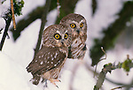 Northern saw-whet owl, Washington