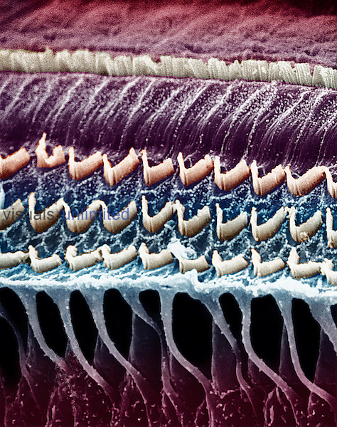 Hair cells in a mammal cochlea, the portion of the inner ear that is responsible for hearing.  **On Page Credit Required**