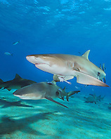 Lemon Sharks, Negaprion brevirostris, and Sharksuckers, Echeneis naucrates, West End, Grand Bahama, Atlantic Ocean