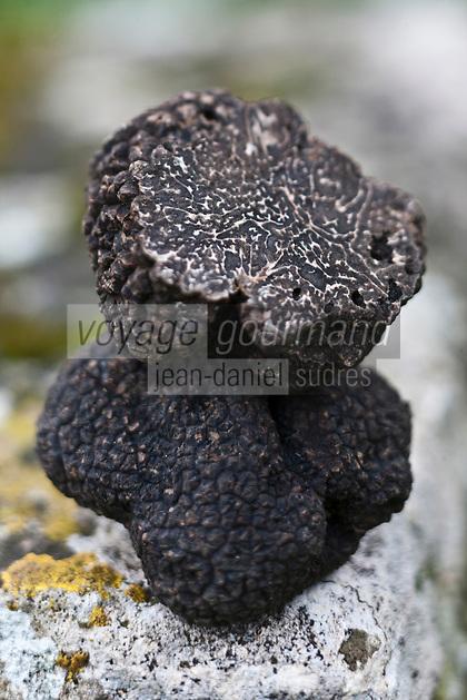 Europe/France/Aquitaine/24/Dordogne/Saint-Cyprien/Pechalifour: Truffes noires, Tuber Melanosporum chez Edouard Aynaud, à la truffière de Péchalifour