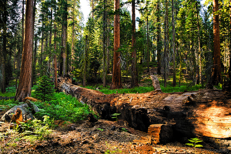 Landscaping With Redwood Trees : Sequoia trees in circle meadow sean scanlon redinkphotography