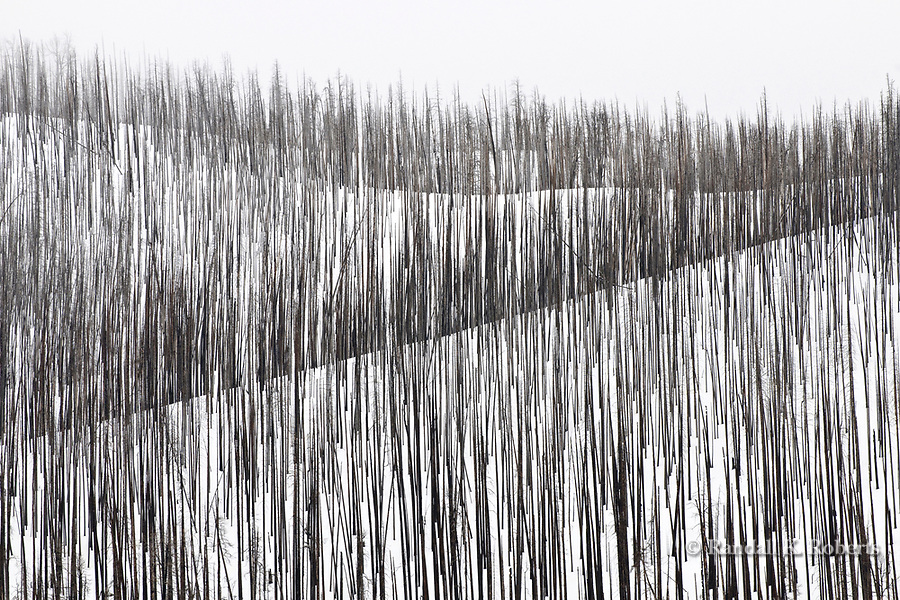 Dead trees from a past forest fire create a stark contrast with a snowy hillside near Yellowstone Lake in winter.