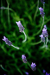 Lavender blooms at Otow Orchard in Granite Bay, CA May 4, 2010.