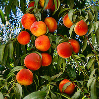 Agriculture - August Lady peaches on the tree, ripe and ready for harvesting / Tulare County, California, USA
