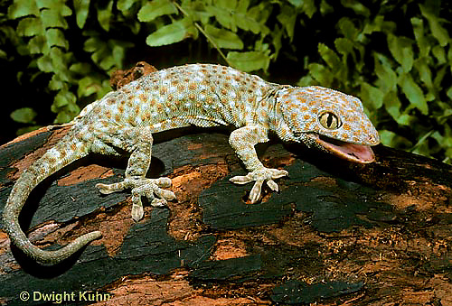 GK20-029x  Tokay Gecko - adult from south east Asia -  Gekko gecko