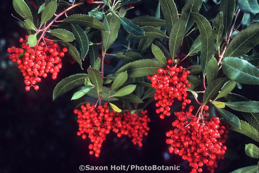 Heteromeles arbutifolia (Toyon, Christmas Berry) berries