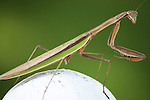 Praying Mantis / green background