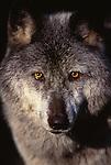 Gray wolf portrait, Montana