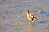 Ruff (Philomachus pugnax) Besides drinking in the esturary the Juvinile Ruff also feeds, as a stop over on Autumn migration.