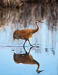 A sandhill crane in the ponds at the Lee Metcalf Wildlife Refuge in the Bitterroot Valley of western Montana.