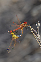 362740006 a mated pair of wild saffron-winged meadowhawks sympetrum costiferum perch on a desert plant near de chambeau ponds mono county california united states