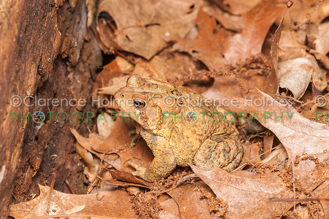 An American Toad, subspecies Eastern American Toad (Anaxyrus americanus americanus), sits among dead leaves on the ground in a woodlands habitat.