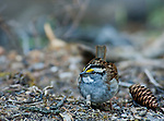 White-throated sparrow scratching dirt in the forest looking for food
