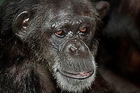 Chimpanzee face (Pan troglodytes), Captivity.