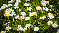 Daisies growing on a lawn - May 2014.