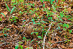 The cryptic coloring of the Eurasian Woodcock is necessary for a bird that rests and nests on the ground.  Cape May, New Jersey.