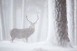 Red deer (Cervus elaphus) stag in pine forest in winter, Alvie, Kincraig, Scotland.