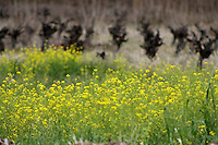 Mustard grows near a vineyard in Napa County in Northern California.