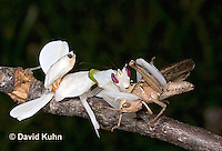 "0720-07pp  Malaysian Orchid Mantis Consuming Prey - Hymenopus coronatus ""Nymph"" - © David Kuhn/Dwight Kuhn Photography"