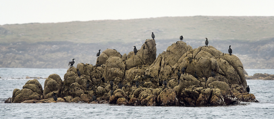THE ISLES OF SCILLY SEABIRD RECOVERY PROJECT.SEABIRD COLONIES OFF THE COAST OF ANNET.<br /> 17/06/2015. PHOTOGRAPHER CLARE KENDALL.