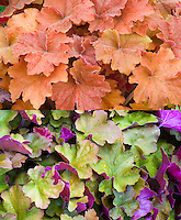 Heuchera Caramel in two phases of changing leaf foliage color, composite picture side by side comparison