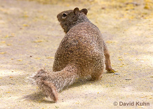 0613-1112  Rock Squirrel (Ground Squirrel), Pregnant Female, Spermophilus variegatus (Otospermophilus variegatus)  © David Kuhn/Dwight Kuhn Photography
