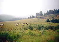 VERMONT SCENES<br /> Cows Grazing In A Field
