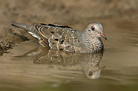 518090037 a wild common ground dove columbina passerina bathes in a small pond in the rio grande valley of south texas