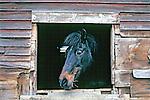 Horse Looking Through Barn Window