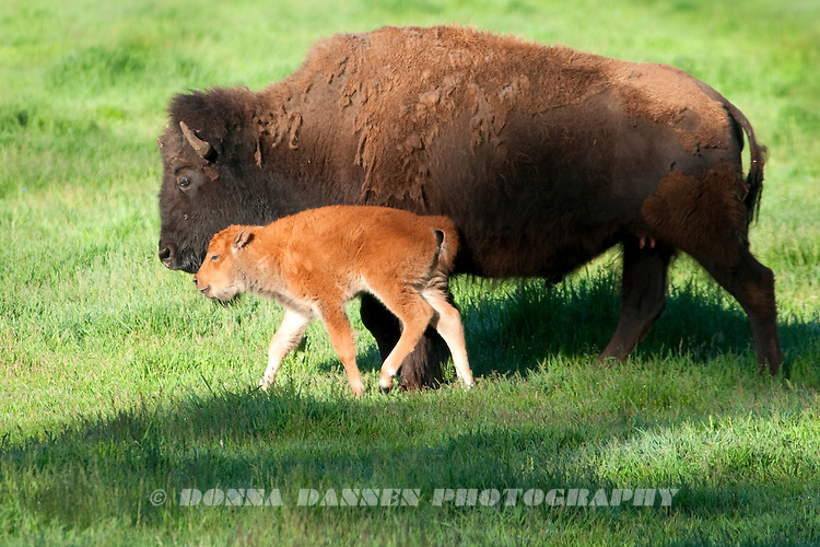 Bison mama and her red calf