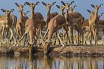 Impalas, Mashatu Reserve, Botswana