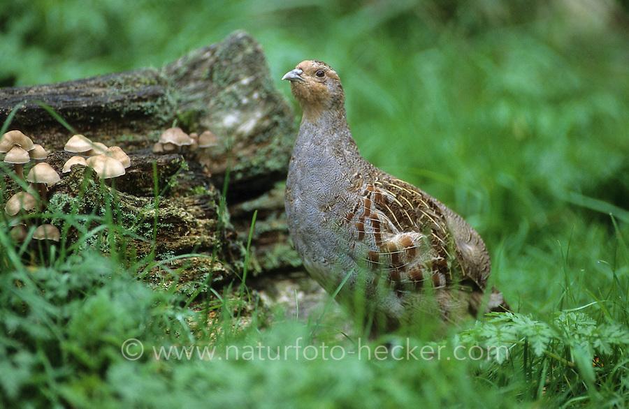Rebhuhn, Perdix perdix, grey partridge