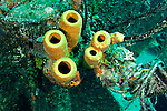 Yellow Tube Sponge, Doc Paulson, Grand Cayman