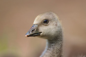 Greylag Goose (Anser anser) Looking curious. This species is the ancestor of domesticated geese in Europe and North America.