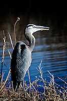 A Great Blue Heron sits patiently by the side of a canal at Bosque del Apache National Wildlife Refuge waiting for his dinner to appear.