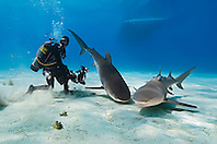 Tiger Shark, Galeocerdo cuvier, Lemon Sharks, Negaprion brevirostris, and scuba divers, West End, Grand Bahama, Atlantic Ocean
