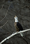 A bald eagle calling, Chilkat River Valley, Alaska